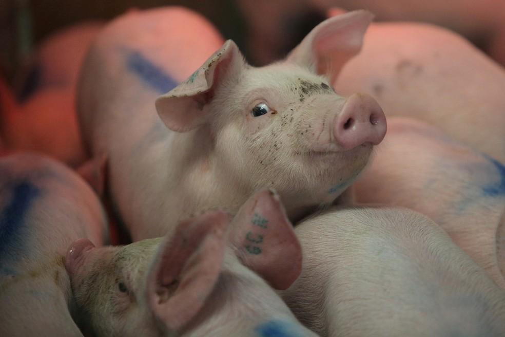 Peste suína no Ceará não é ameaça para a sanidade do país
