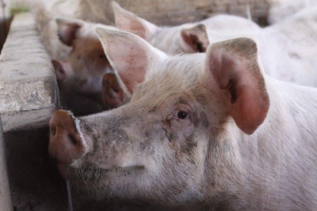 Santa Catarina registra alta de 51% nas exportações de carne suína em maio