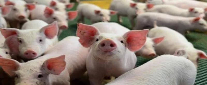 Pamplona também aumenta o valor do quilo vivo do suíno pago ao produtor para R$ 3,80