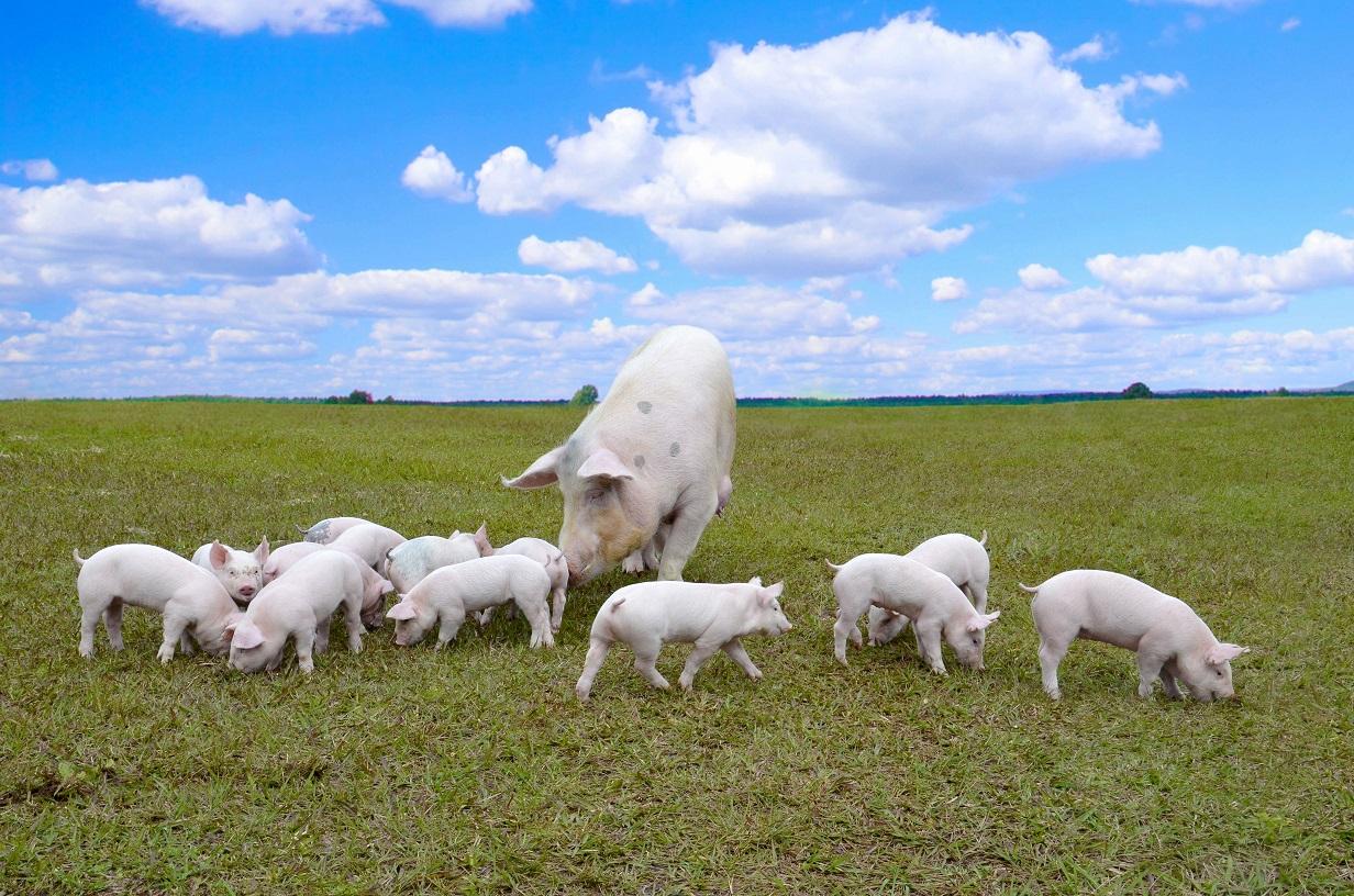 Embrapa mostra linhas genéticas de suínos na Expo Concórdia