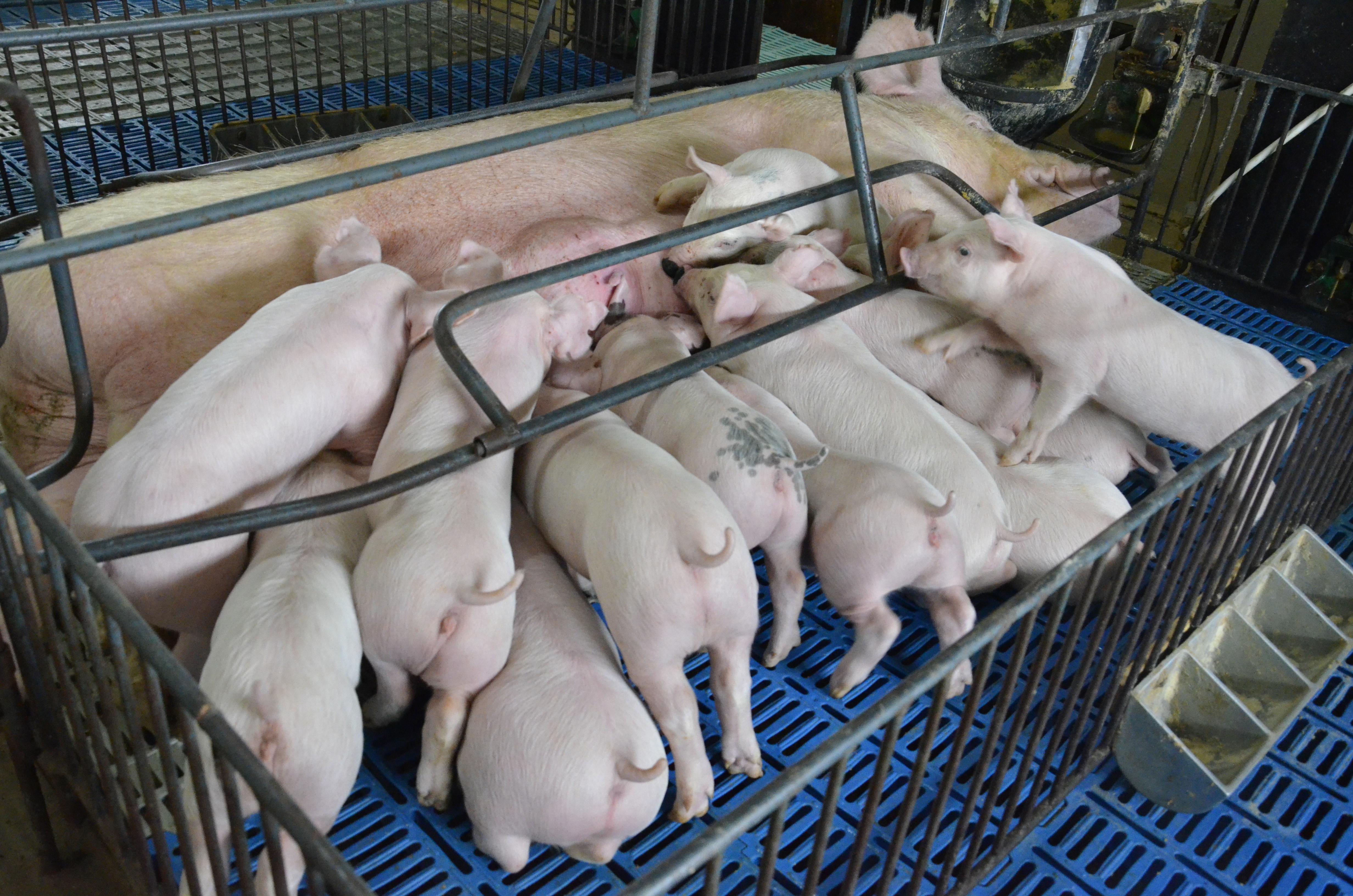 Embrapa oferece curso de manejo em suinocultura nas fases de reprodução e maternidade