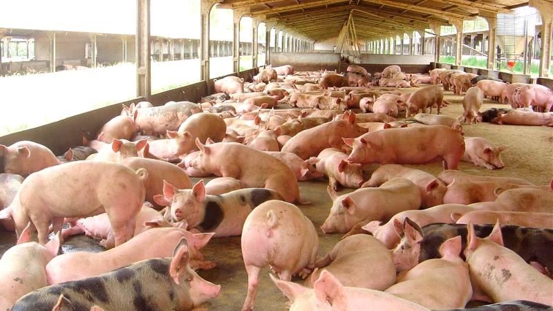 Valo do quilo vivo do suíno aumentou mais R$ 0,10 para os produtores integrados