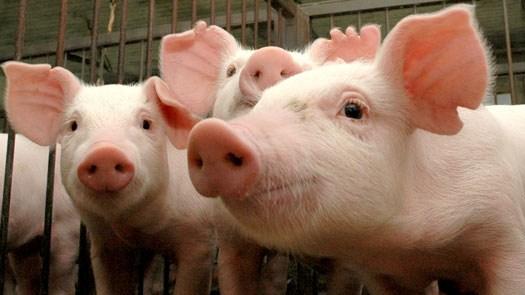 BRF também reajusta o valor do quilo vivo do suíno em R$ 0,10