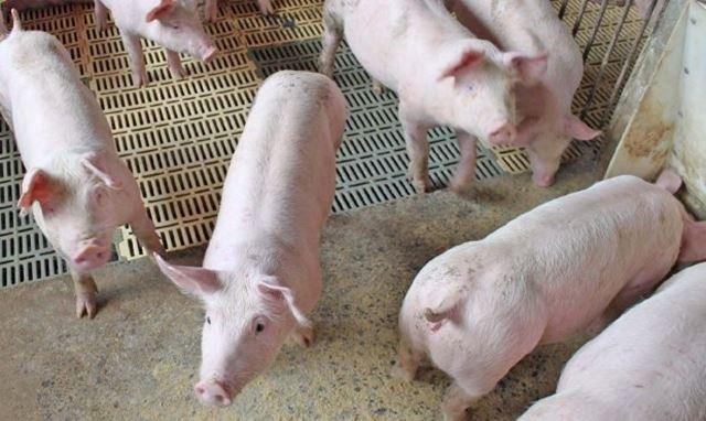 Santa Catarina amplia exportação de carne suína para a China