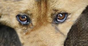 Cachorro tem quase todo o corpo queimado em Concórdia