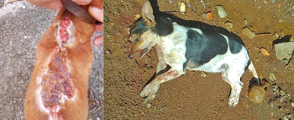 Quatro cachorros são queimados com água quente e um é morto a pauladas em Concórdia