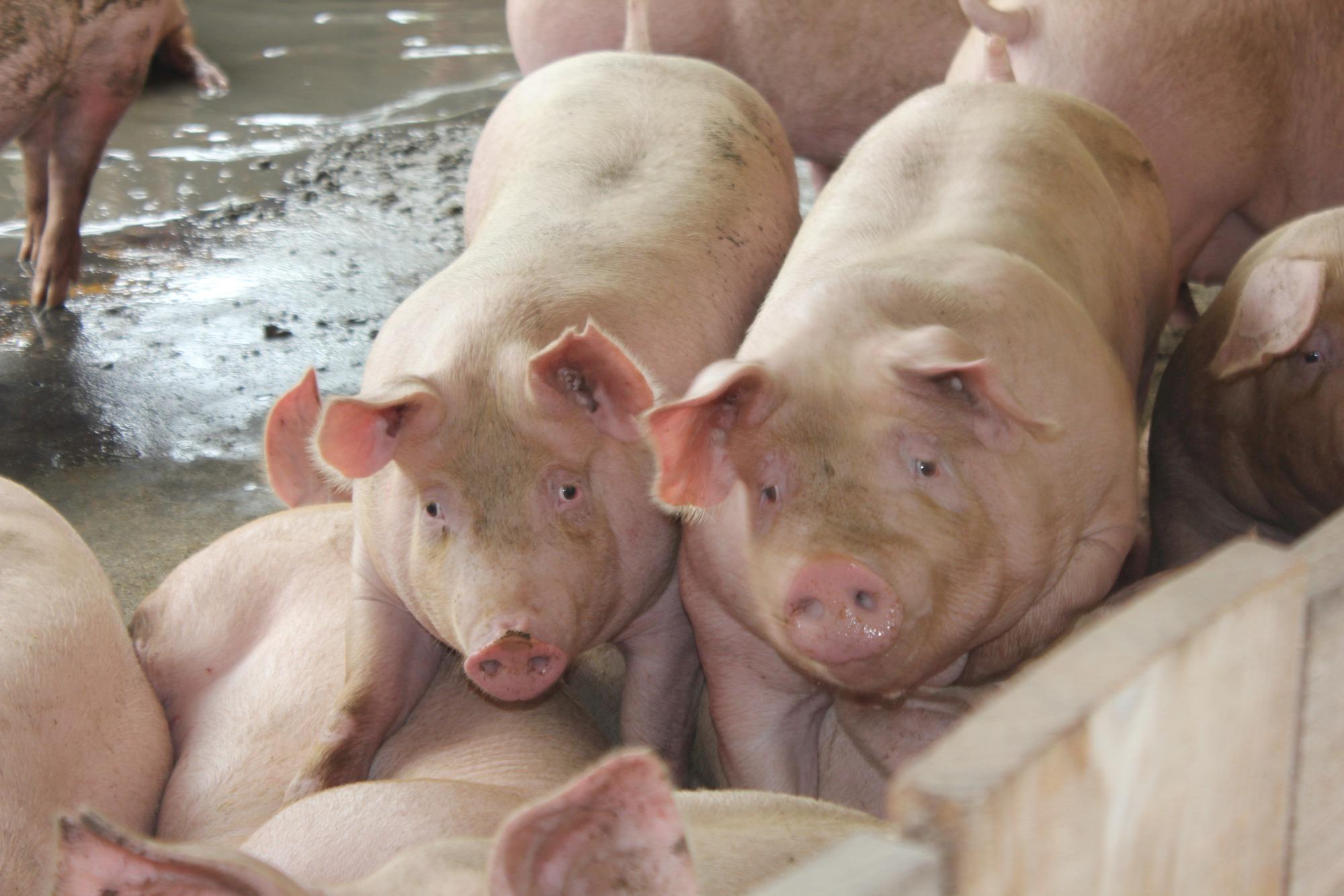 JBS Foods também reajusta em R$ 0,10 o valor do quilo vivo do suíno