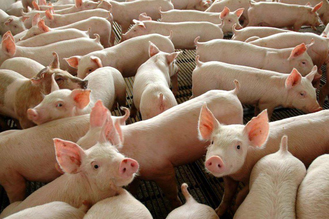 Quilo vivo do suíno ao produtor integrado aumenta R$ 0,10 em SC