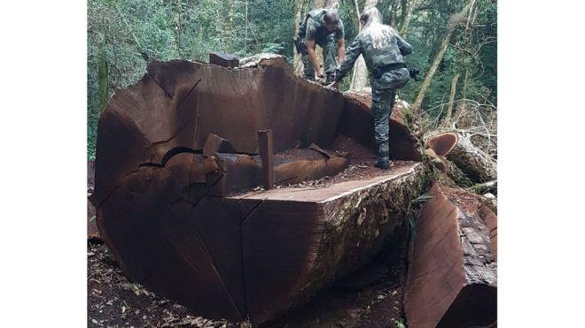 Árvore com mais de 500 anos é derrubada em Vargem Bonita e vira notícia nacional