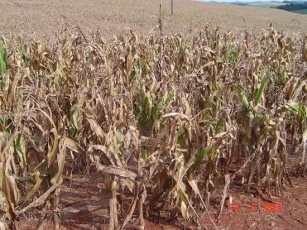 Perdas em lavouras de milho em Seara podem chegar a 30%