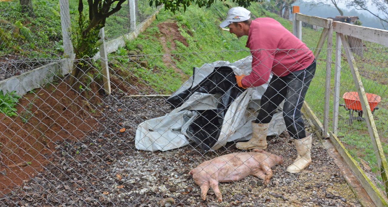 Tratamento de efluentes, destinação de animais mortos e suínos criados sem antimicrobianos