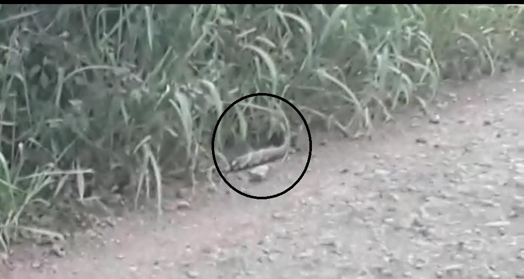 VÍDEO: Cobra de grande porte é avistada no interior de Itá