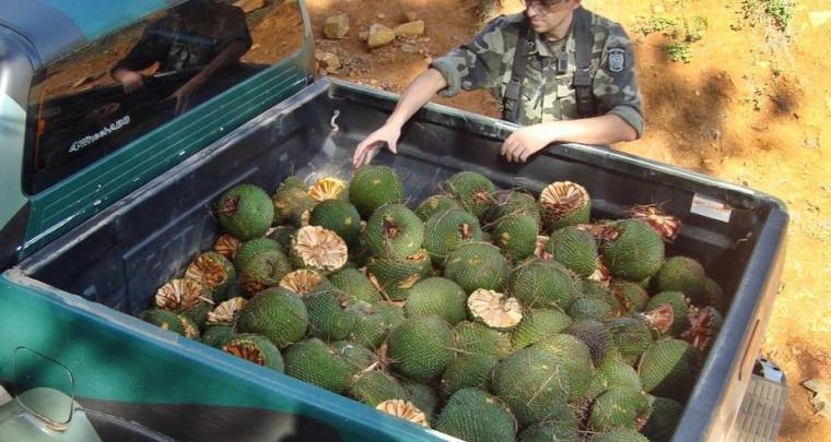 OUÇA: Proibida a colheita, estocagem ou comercialização do pinhão