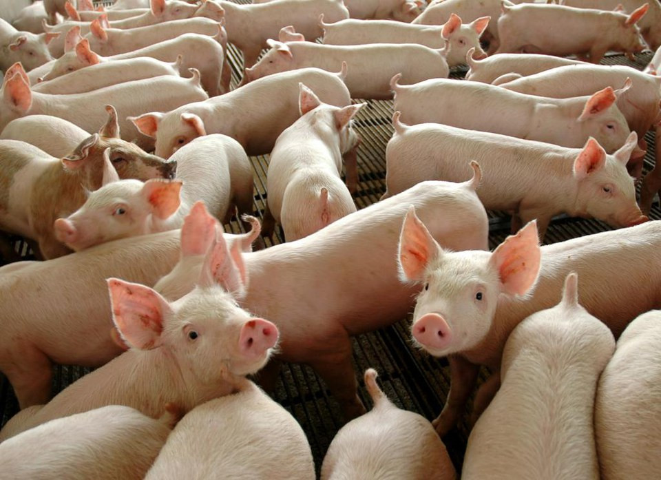 JBS anuncia aumento de R$ 0,10 no valor do quilo vivo do suíno