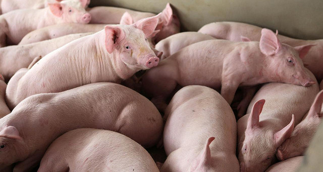 JBS também anuncia redução no valor do quilo vivo do suíno em R$ 0,10