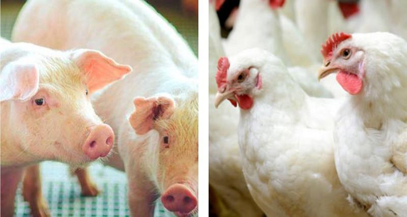 Exportações em queda para o frango e alta para suíno e uma projeção para 2029