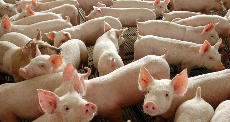 Valor do quilo vivo do suíno aumenta mais R$ 0,10