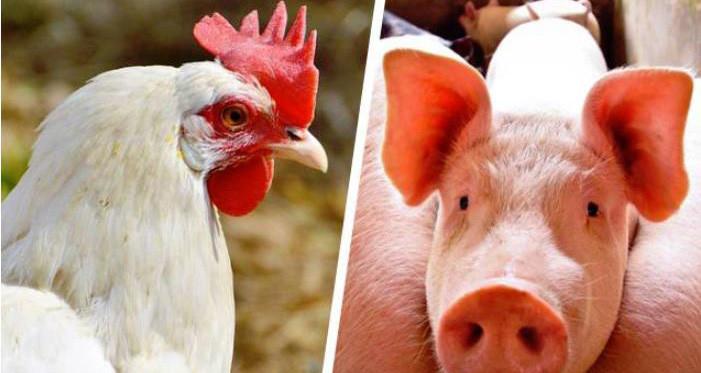 Embrapa: Custos de produção de suínos sobem 10,93% em julho