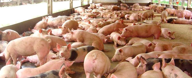Mais um forte aumento no valor do quilo vivo do suíno na próxima semana