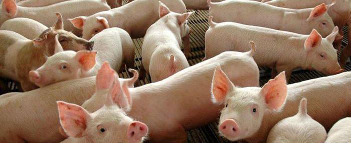 Valor do quilo vivo do suíno apresenta queda para o produtor