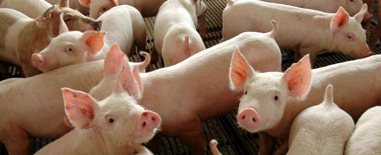 OUÇA: Valor do quilo vivo do suíno pode aumentar mais para o produtor