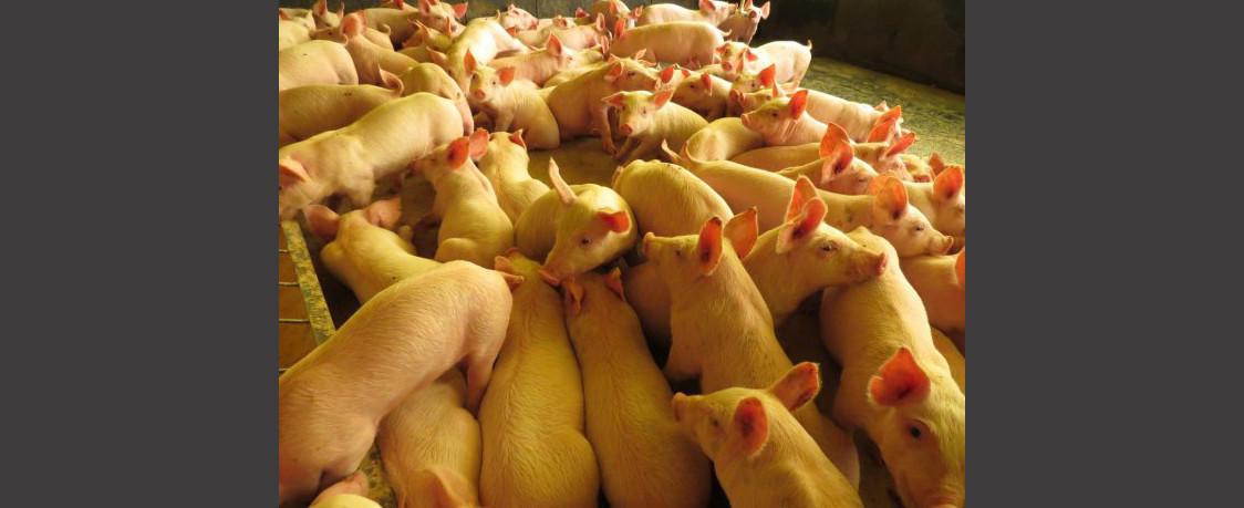 Exportação de carne suína catarinense cresce 29% no mês de julho