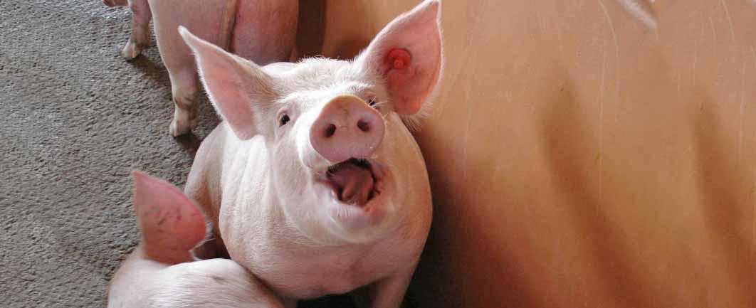 OUÇA: Valor do quilo vivo do suíno cai R$ 0,10 em SC