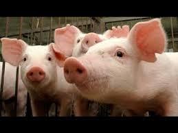 Outras duas agroindústrias aumentam o valor do quilo vivo do suíno em R$ 0,10