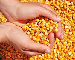 Taxação argentina pode favorecer o mercado de milho do Brasil