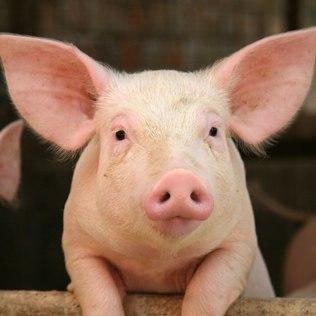 Preço do suíno terá reajuste de R$ 0,10